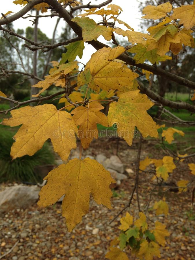 Autumn Leaves. Autumn leaf color is a phenomenon that affects the normally green leaves of many deciduous trees and shrubs by which they take on, during a few stock photos