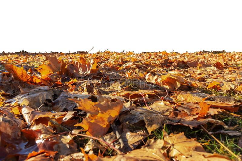 Autumn leaves lie on the ground on a white background. Nature, season, fall, orange, yellow, foliage, bright, brown, dry, leaf, abstract, closeup, golden stock photography