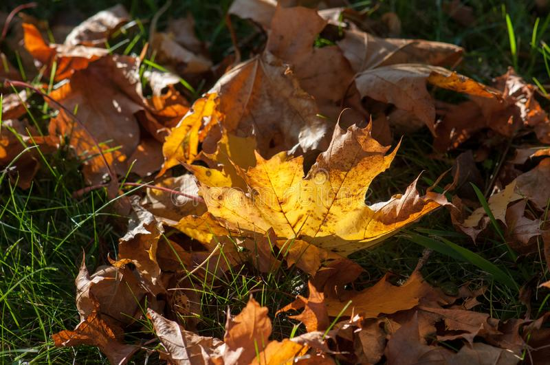 Autumn leaves in the light. Autumn leaves in evening light on the ground during autumn in Östergötland, Sweden royalty free stock photography