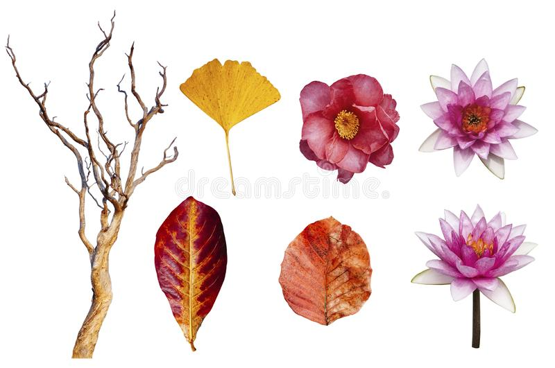 Autumn leaves and lotus, Japanese Camellia flower and beautiful dead tree isolated on white background with clipping path stock images