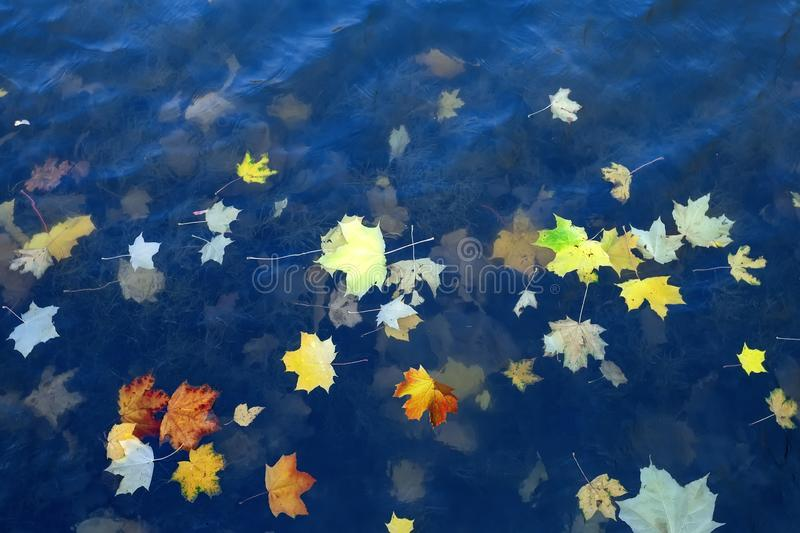 Autumn leaves of a maple on a blue water surface stock photos