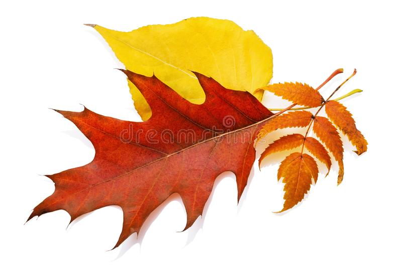 Autumn leaves of a maple, poplar and mountain ash isolated. On white background royalty free stock photos