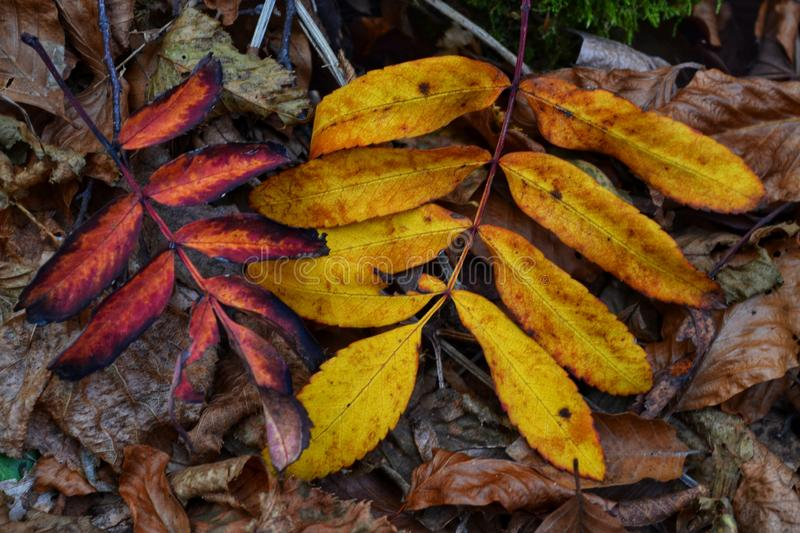 Autumn leaves. Into mountain stock photography