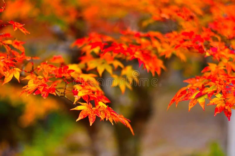 Autumn Leaves, Oranje Gradatiebladeren stock afbeeldingen