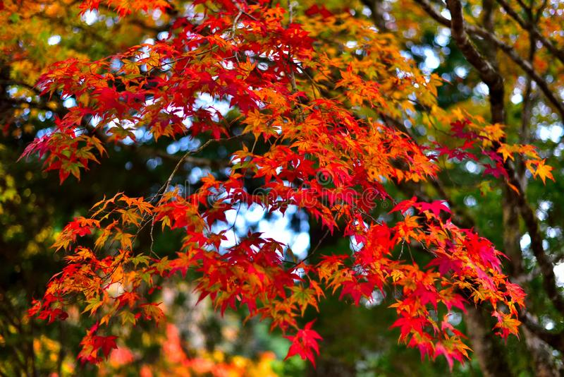 Autumn Leaves, Oranje Gradatiebladeren royalty-vrije stock fotografie