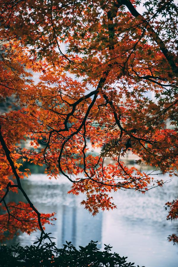 Autumn leaves over the water Tokyo Japan royalty free stock image