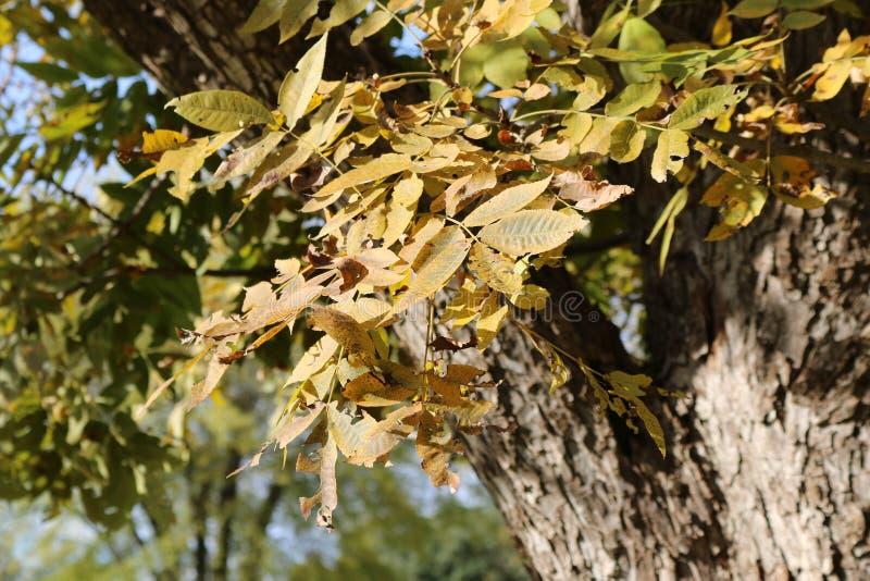 Autumn Leaves on Pecan Tree. Golden fall leaves on pecan tree stock photos