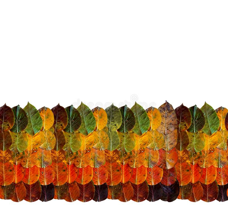 Autumn leaves from rainbow of the yellow orange brown green on each other.  Border frame top is foliage. Bottom is white copy stock photography