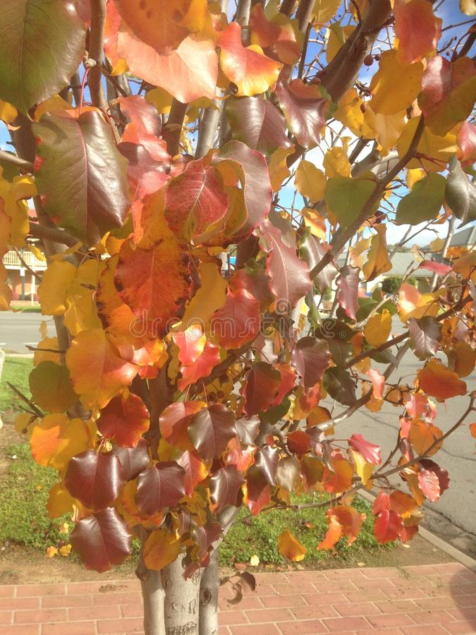 Autumn Leaves Ready to Fall. Autumn leaf color is a phenomenon that affects the normally green leaves of many deciduous trees and shrubs by which they take on stock photos