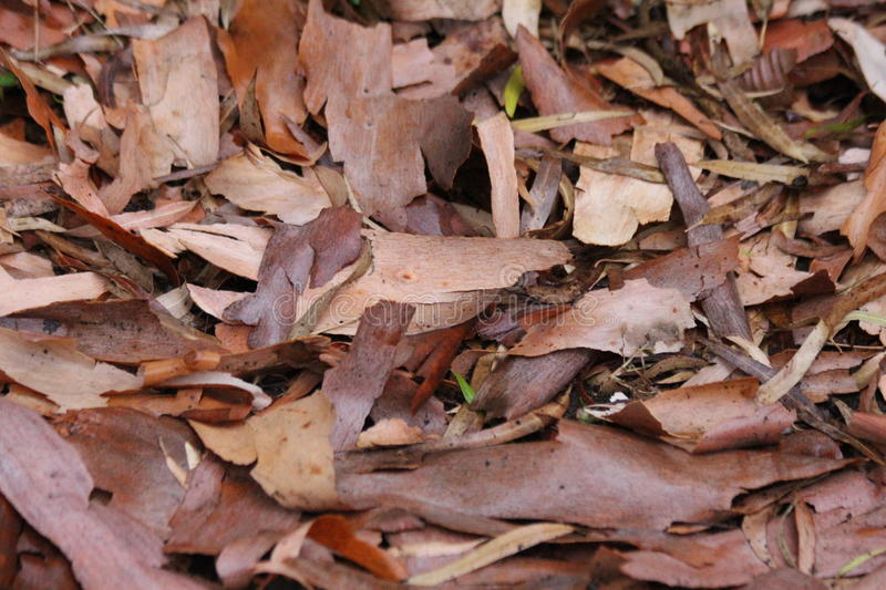 Autumn Leaves Ready to Fall. Autumn leaf color is a phenomenon that affects the normally green leaves of many deciduous trees and shrubs by which they take on stock image