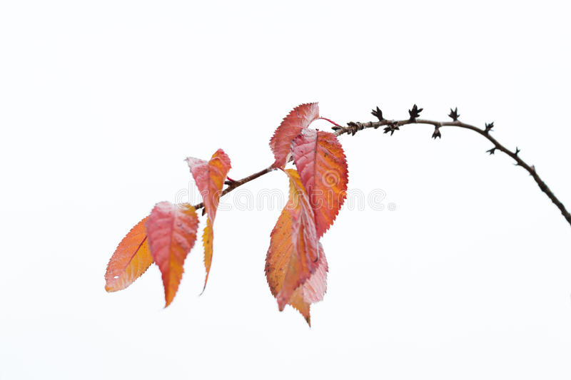 Autumn leaves remaining on cherry brunch 2 royalty free stock photos