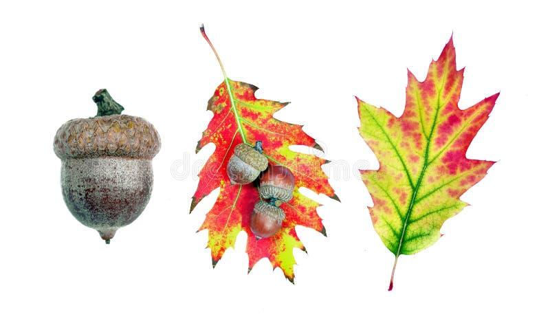 Autumn Leaves rijpe eikel en eiken die bladeren op witte achtergrond wordt geïsoleerd stock afbeelding