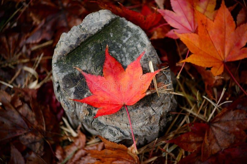Autumn leaves on rock stock photos