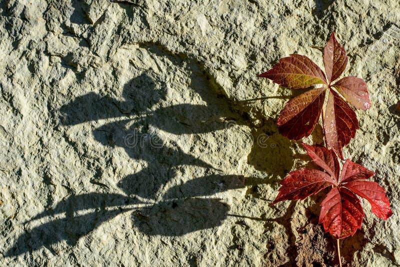 Autumn Leaves rouge avec l'ombre sur la roche en pierre photo libre de droits