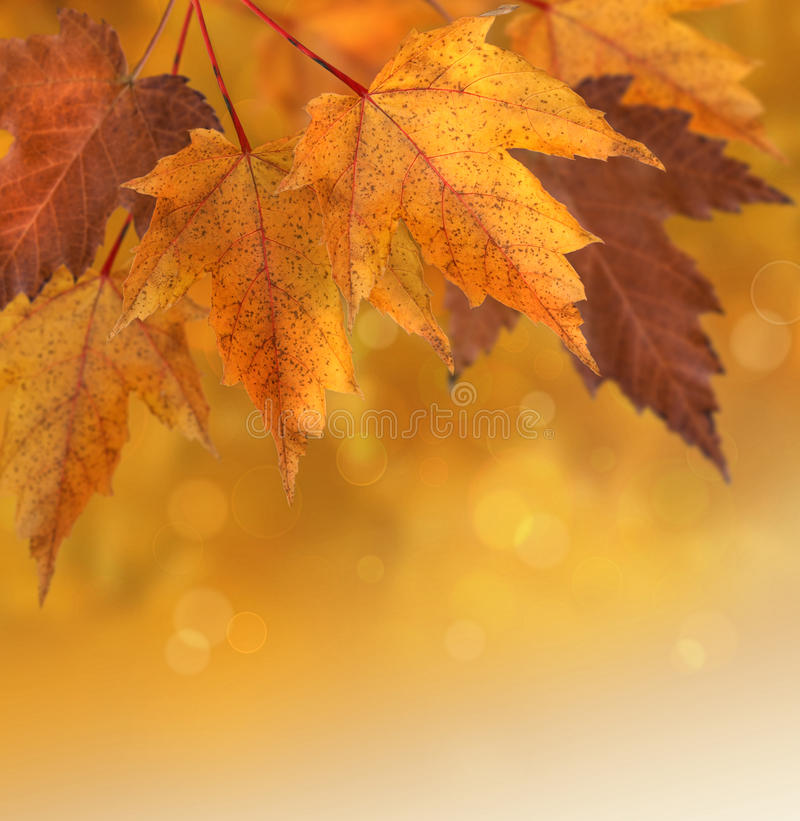 Autumn leaves with shallow focus background. Autumn maple leaves with shallow focus background stock photo