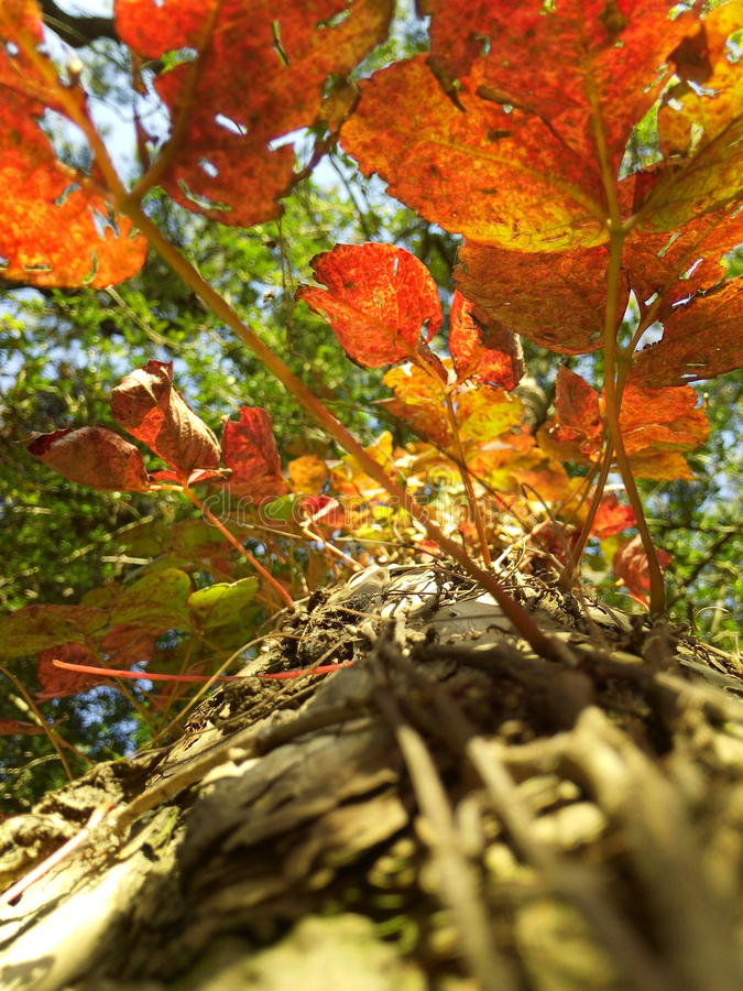 Autumn Leaves in Shillong stock foto