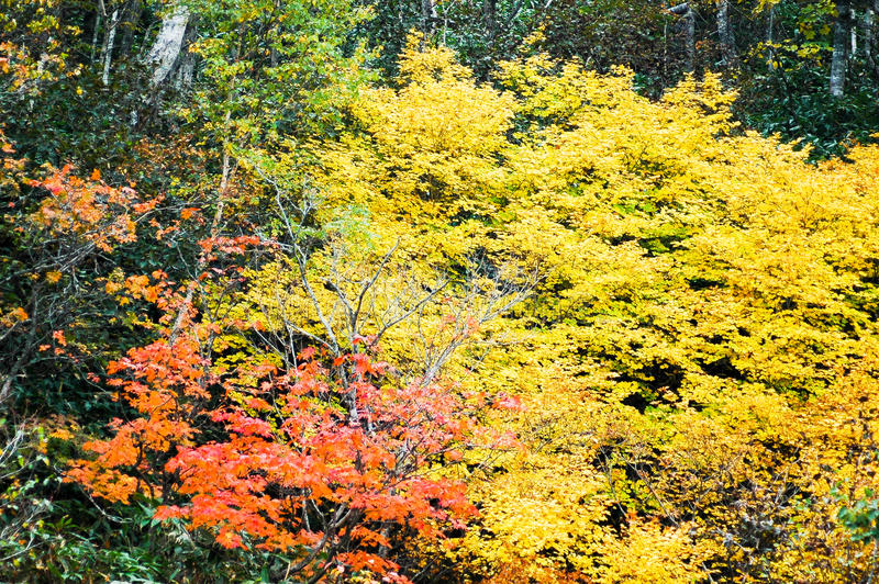 Autumn Leaves in Shiretoko, Hokkaido, Giappone fotografia stock