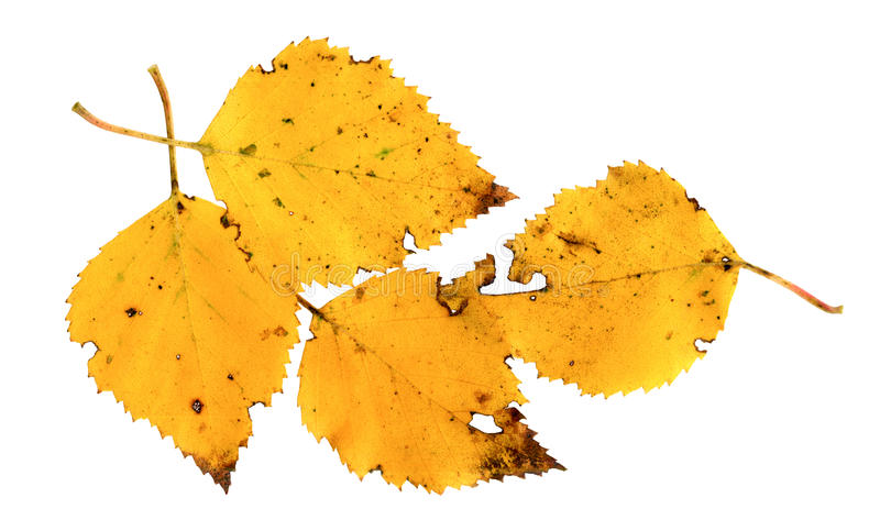 Autumn leaves of a Silver Birch