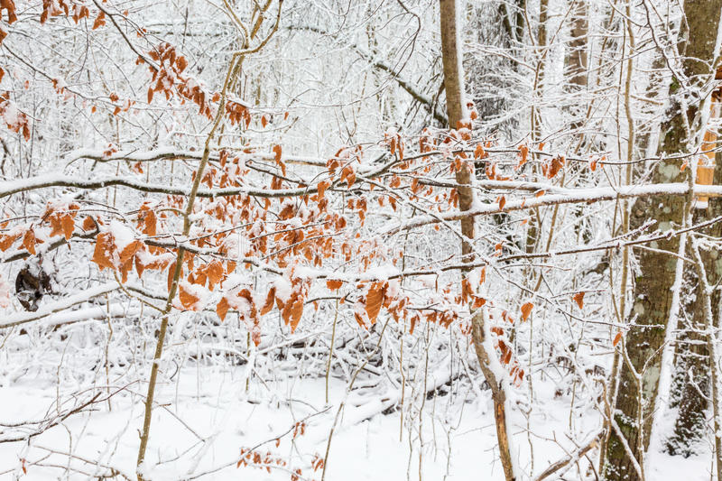 Autumn leaves with snow royalty free stock photo