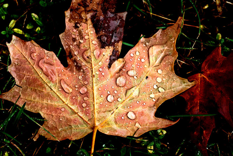 Autumn Leaves Sugar Maple imagens de stock royalty free