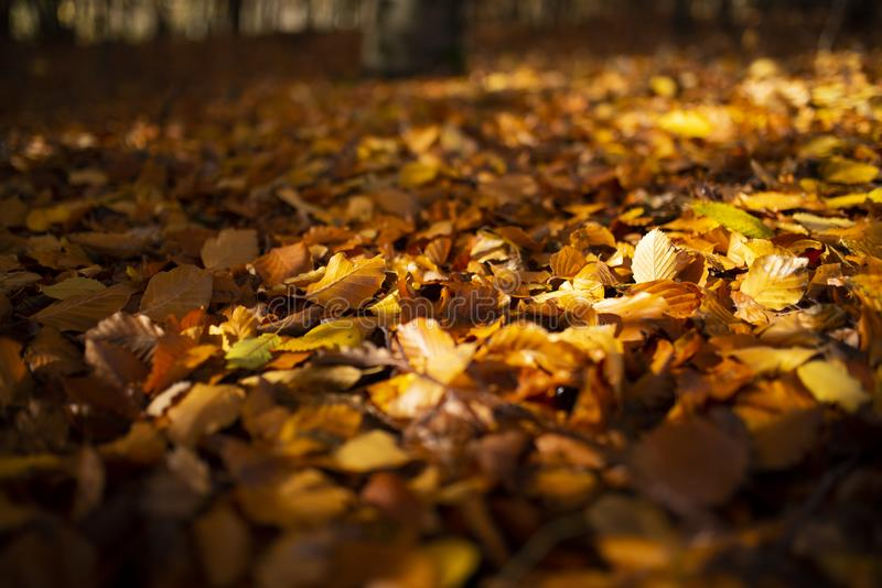 Autumn leaves in sunshine stock photo