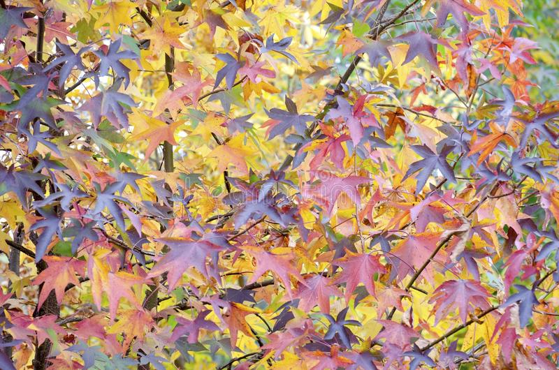 Autumn Leaves. Sweetgum leaves turning shades of red orange yellow and purple for autumn stock image