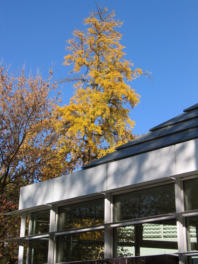 Autumn leaves on a tree. Urban scene - Autumn leaves on a tree next to a modern building stock image