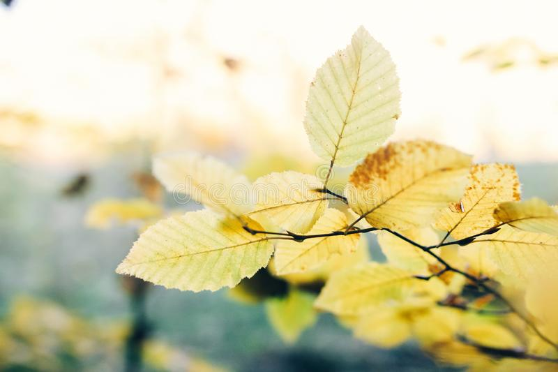 Autumn leaves on tree branch in sunny woods. Beautiful yellow hornbeam leaves on branches in fall. Autumn forest. Tranquil moment. Copy space stock photo