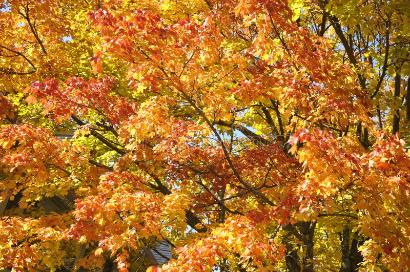 Autumn Leaves. On a tree in Massachusetts royalty free stock photography