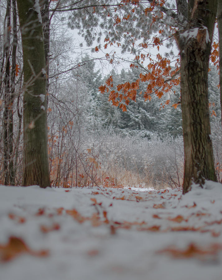 Autumn leaves on trees in a winter landscape. `Winter`s Tale` Autumn leaves on trees in a winter landscape stock images