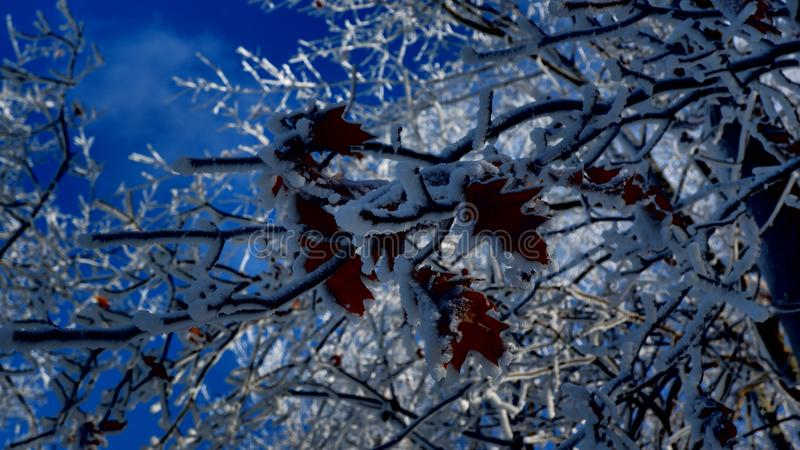Autumn leaves under the snow stock images