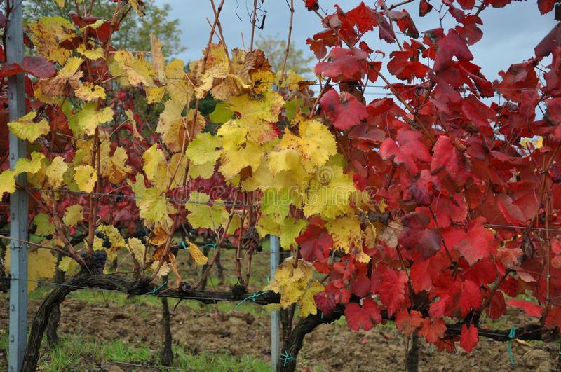 Autumn leaves in the vineyards Tuscany royalty free stock photos