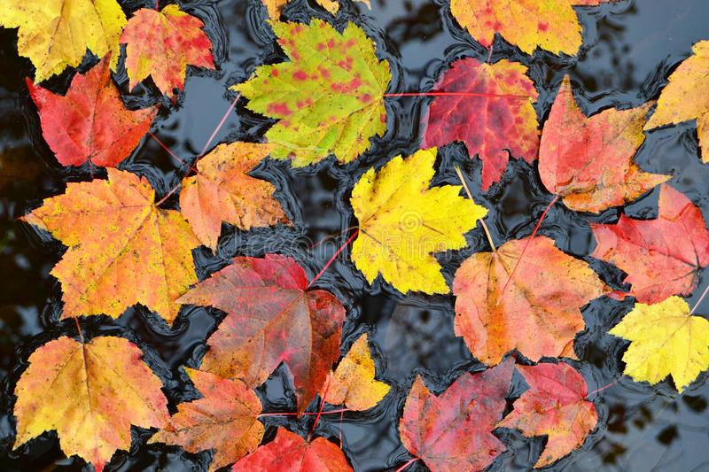 Autumn leaves in water royalty free stock image