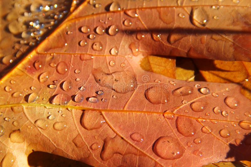 Download Autumn Leaves With Water Drops Stock Image - Image: 83707967