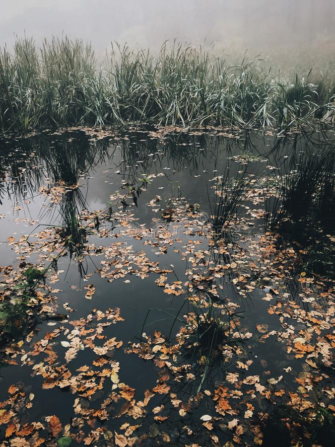 Autumn leaves in water,  foggy lake in autumn woods in cold morning. Mist in autumn forest. Tranquil moment. Hello fall. Atmospheric morning royalty free stock photo