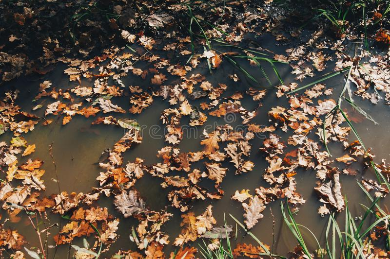 Autumn leaves in water. Oak brown leaves floating in water in sunny day in woods. Hello fall stock photo