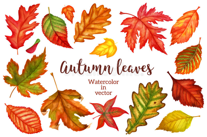 Autumn leaves a watercolor on a white background. vector illustration. Autumn leaves watercolor in vector on white background big set. Vector illustration