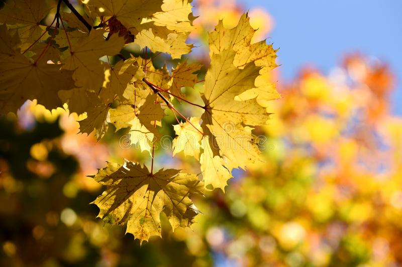 Autumn leaves. Yellow autumn leaves in a sunlight royalty free stock photos