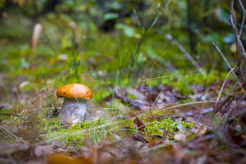 Autumn Leccinum mushroom grow. In forest. Natural raw food grows in wood. Boletus with thick leg. Edible mushrooms photo stock photography