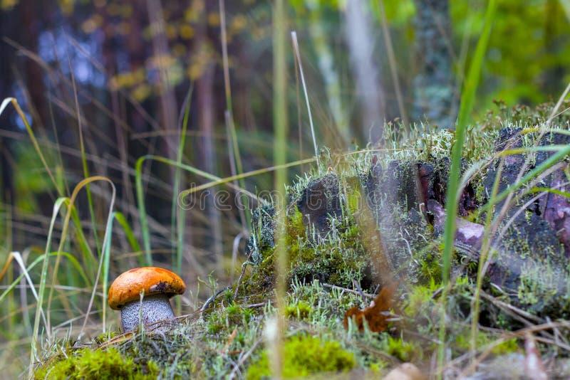 Autumn Leccinum mushroom in wood. Autumn Leccinum mushroom grow in wood. Natural raw food grows in forest. Boletus with thick leg. Edible mushrooms photo stock photos