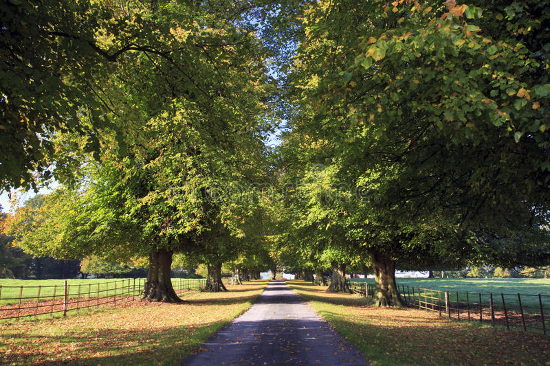 Autumn in Lime Tree Avenue. Farm Driveway between Yelvertoft and West Haddon, Northamptonshire stock photography
