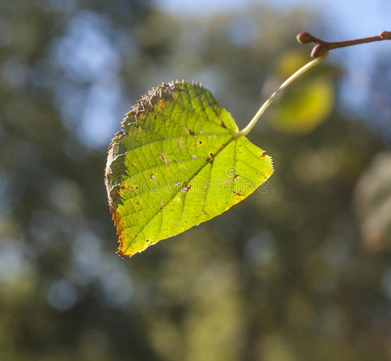 Autumn in London, sunny day - bright green leaf and a blurry background. royalty free stock image