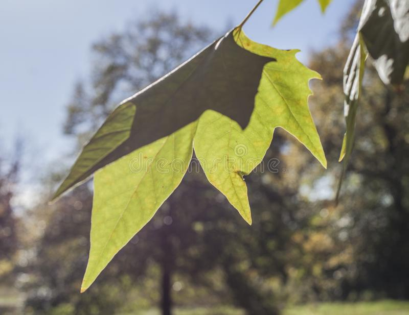 Autumn in London, sunny day - bright green leaf. This image shows a view of one of the parks in London, England, the UK. It was taken on a beautiful, sunny day stock photo