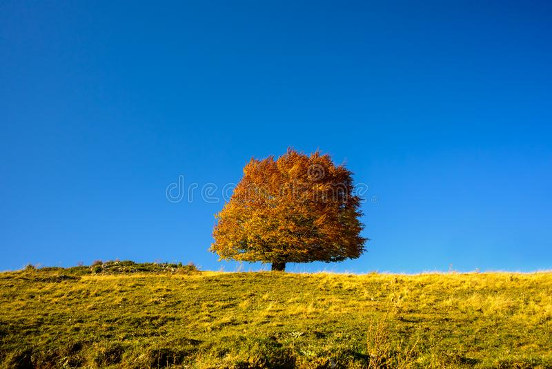 Autumn lonely  tree on a blue background. In the mountains , oak tree royalty free stock image