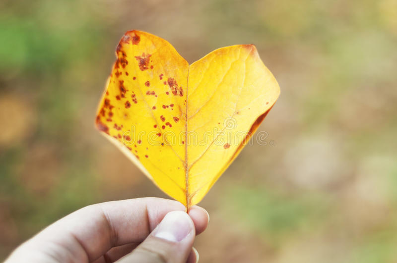 Autumn love. Heart-shaped yellow leaf royalty free stock images