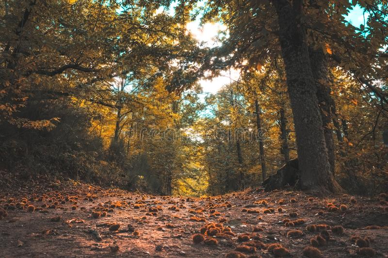 Autumn magic forest. From the ground, path full of chestnuts, It makes its way through the trees. Hervas, Spain.  royalty free stock images