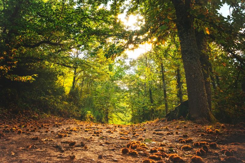 Autumn magic forest. From the ground, path full of chestnuts, It makes its way through the trees. Hervas, Spain.  stock photo