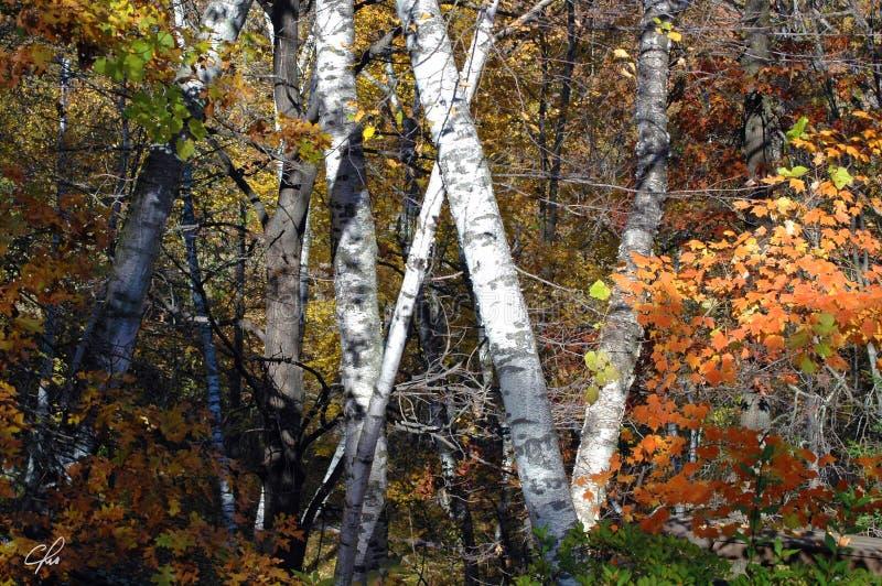 Autumn Majesty Entwined royalty free stock photos