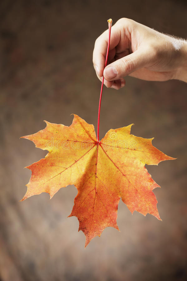 Autumn Maple Royalty Free Stock Photos