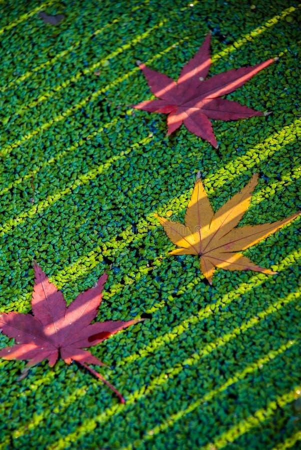 Autumn Maple royalty-vrije stock afbeelding